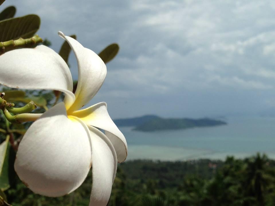 Frangipani ( plumeria) Flower -Koh Samui ,Thailand